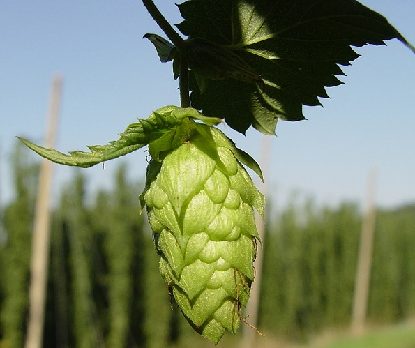 Hops image for unsobered listicle on craft beer jargon simplified